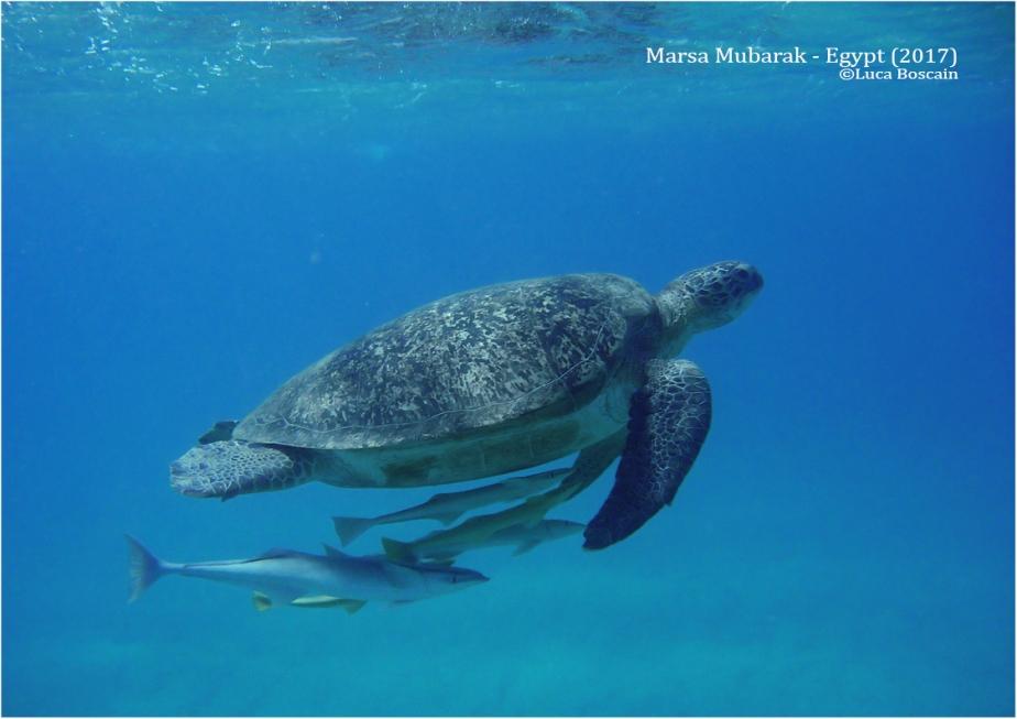 Green Sea Turtles in Marsa Mubarak(Egypt)