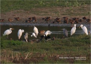 Mix with Great and Little Egrets, Grey Herons, Pygmy Cormorants, Teals and Mallards