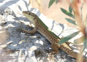 Dalmatian wall lizard (Podarcis melisellensis)