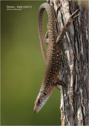 Blue-throated Keeled Lizards (Algyroides nigropunctatus)
