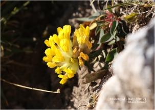 Kidneyvetch (Anthyllis vulneraria)