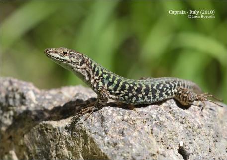 """""""Capraia lizard"""" (Podarcis sicula caporiaccoi)"""
