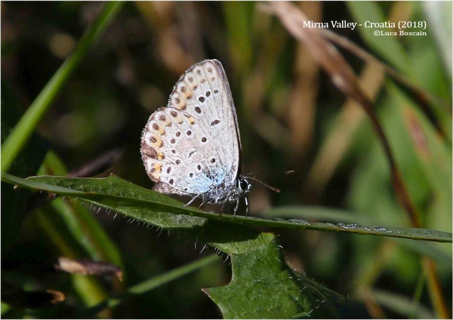 Reverdin's Blue (Plebejus cf. argyrognomon)