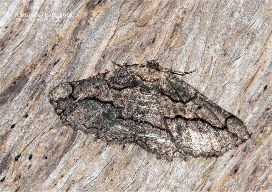 Menophra cf. japygiaria